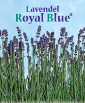 lavendel royal blue
