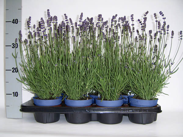 Royal Blue CB1 large