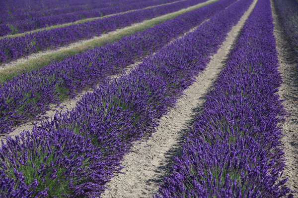 Royal Blue CB2 large