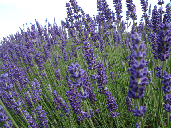 Royal Blue CB4 large